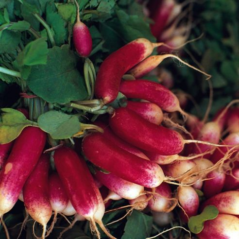 Radish French Breakfast - Appx 150 Seeds